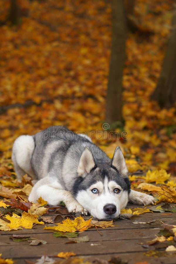 用不同的眼睛的一条灰色白的多壳的品种狗在用步行的湿下落的叶子盖的一个木桥说谎在autu 库存照片