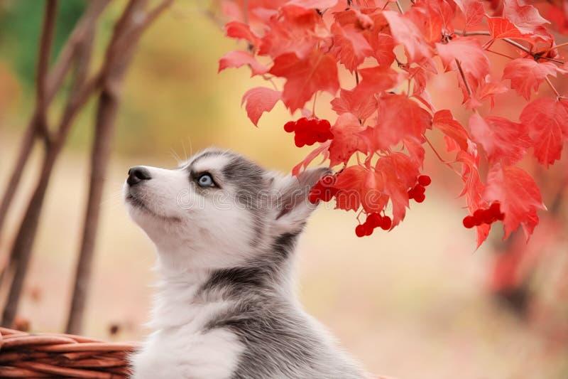 用不同的眼睛的西伯利亚爱斯基摩人小狗 免版税库存图片
