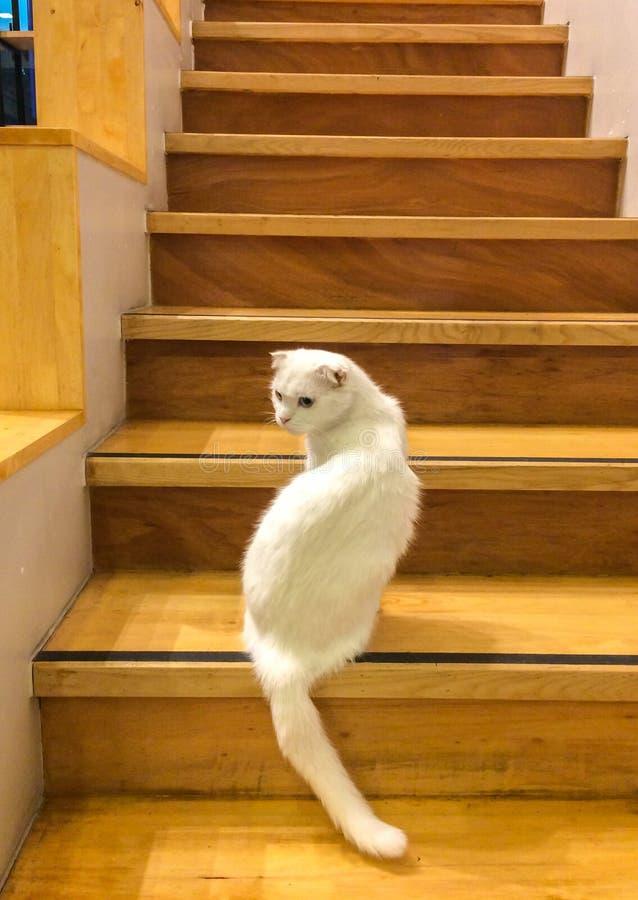 用不同的颜色蓝色和黄色眼睛的逗人喜爱的白色蓬松猫松劲并且看  免版税库存照片