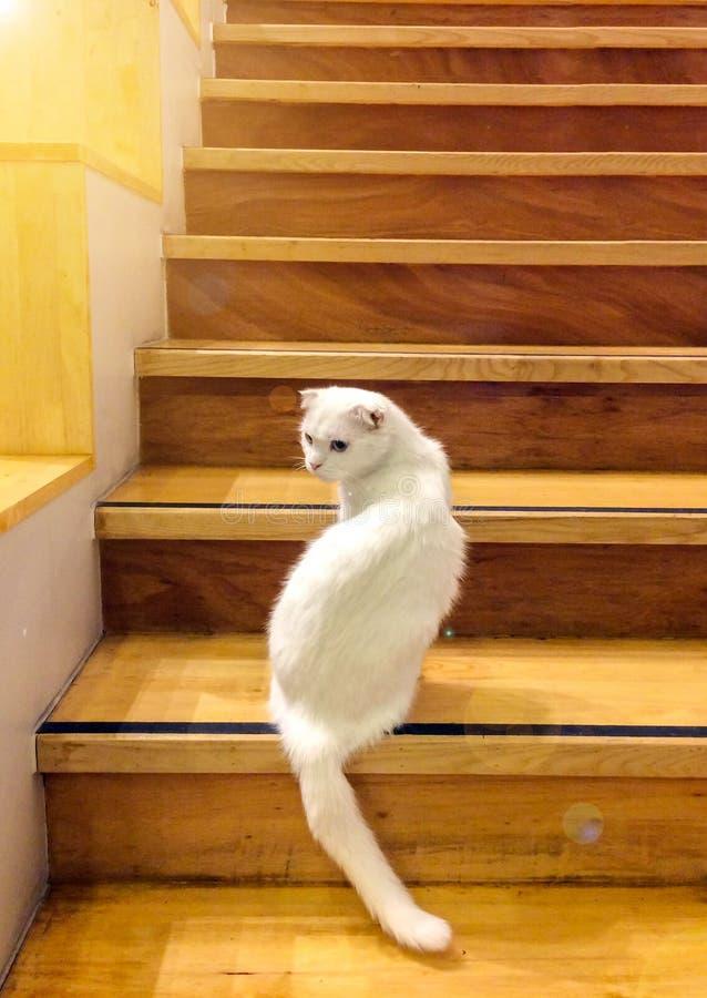 用不同的颜色蓝色和黄色眼睛的逗人喜爱的白色蓬松猫从有橙色太阳光树荫的木台阶松劲并且看  库存图片