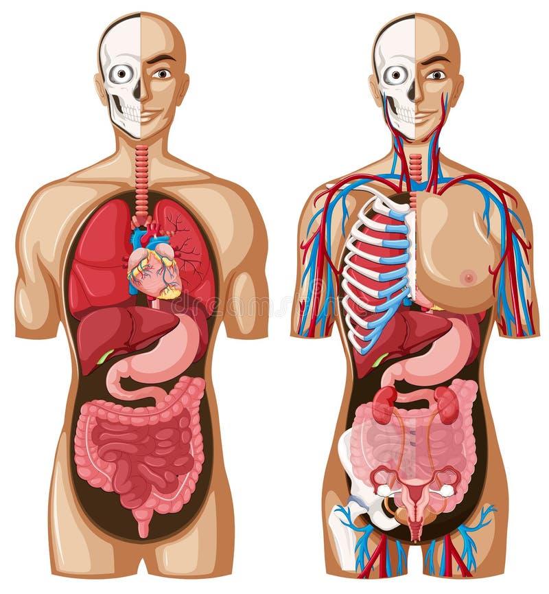 用不同的系统的人的解剖学模型 皇族释放例证