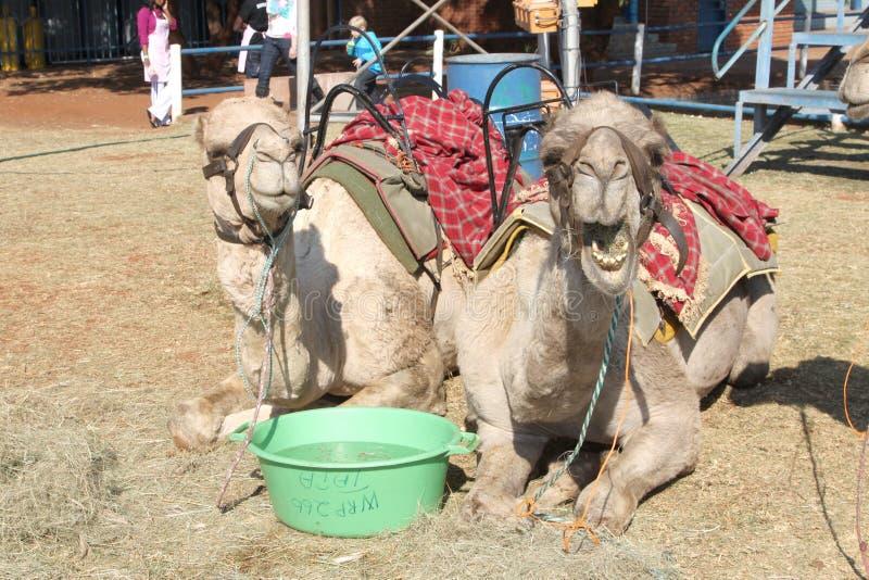 用于兜风的骆驼休息在节日 库存照片