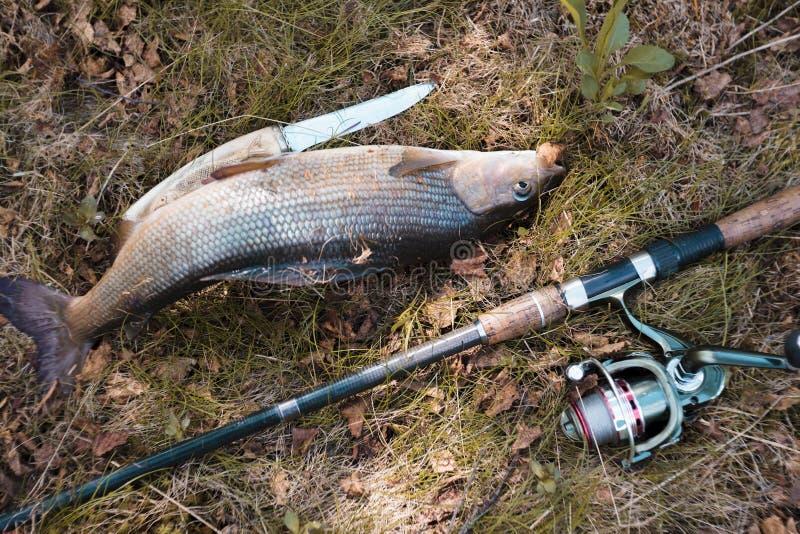 用假蝇钓鱼滑车抓的鱼 在远足的生存 河鳟 狂放的情况 免版税图库摄影