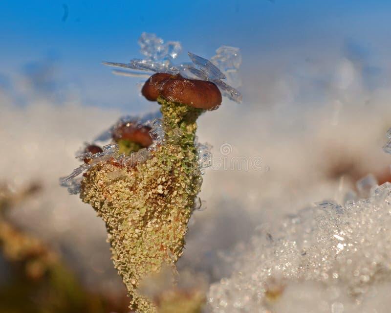 用冰晶盖的驯鹿地衣在冬天期间 免版税库存照片