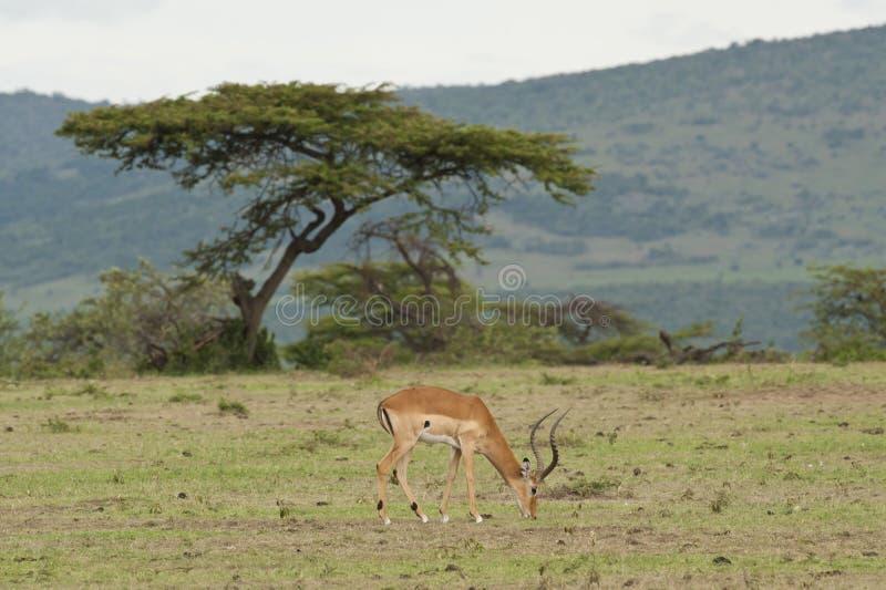 Download 用力嚼在大草原的飞羚 库存照片. 图片 包括有 比赛, 垫铁, 公园, 草食动物, 国家, 肯尼亚, 马塞语 - 30327864