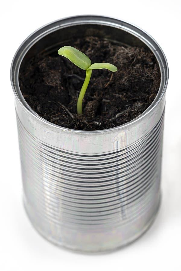 用回收的锡罐生长葵花苗 免版税库存图片