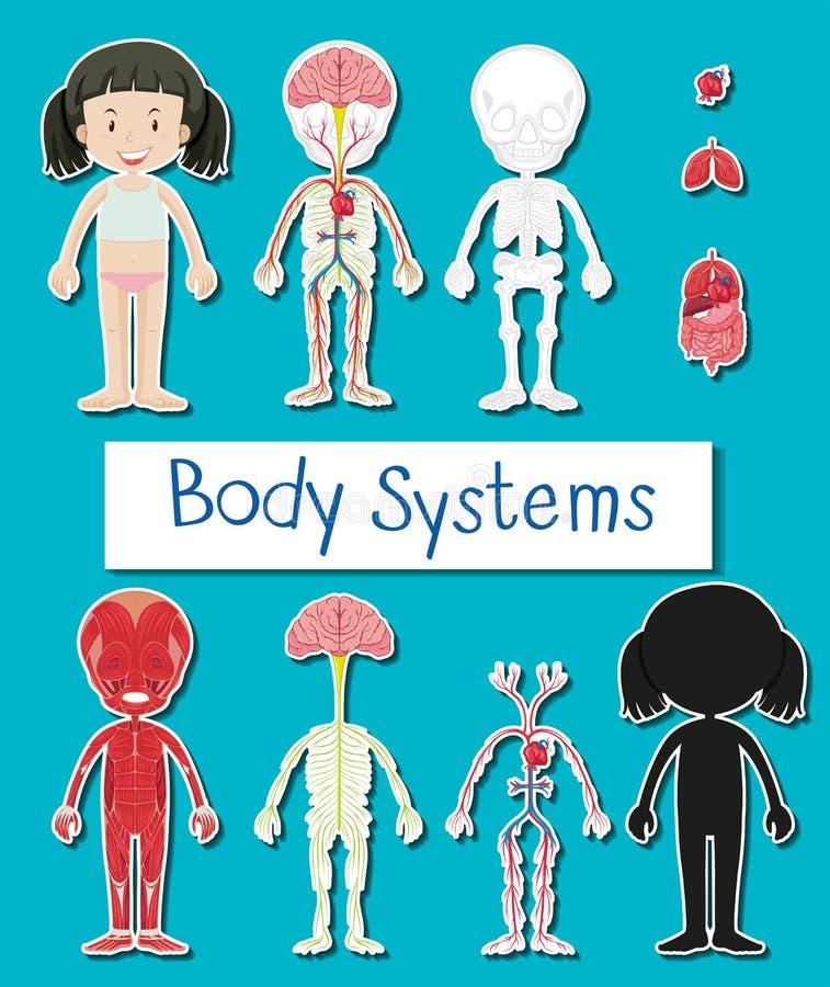 用图解法表示显示人的女孩不同的身体系统  库存例证