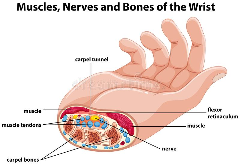 用图解法表示显示有肌肉和神经的人的手 库存例证