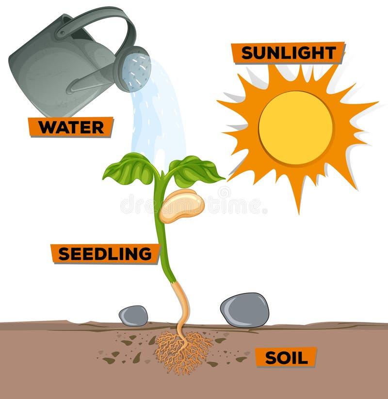 用图解法表示显示生长从水和阳光的植物 向量例证