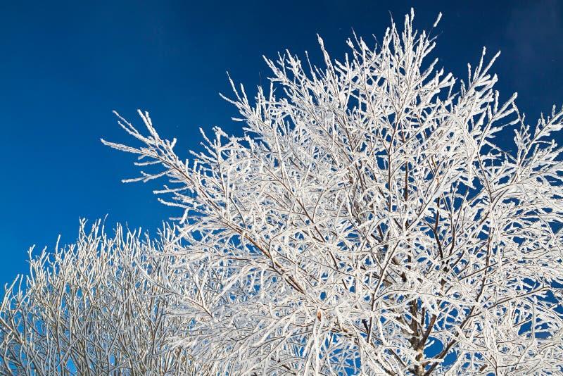 用在背景蓝天的雪报道的树枝 库存照片