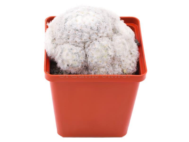 用在花盆的青苔盖的仙人掌g棕色颜色 查出 免版税库存照片