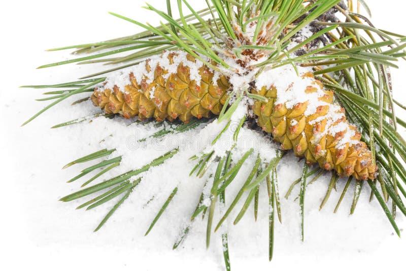 用在被隔绝的背景的雪盖的圣诞树和杉木锥体分支  免版税库存照片