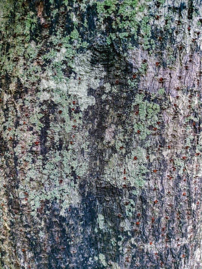 用地衣报道的树皮纹理 免版税库存照片