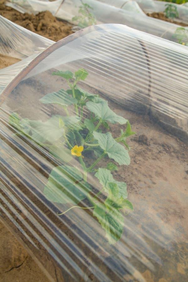 用塑料箔盖的西瓜床准备好种植 库存照片