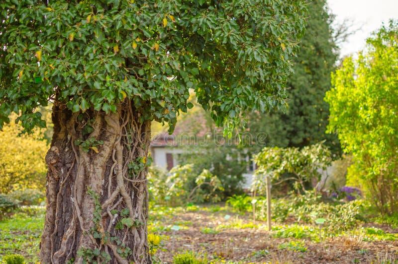 用常春藤和冠盖的大树干有站立反对庭院和被弄脏的白色房子的许多绿色叶子的有红色屋顶的 图库摄影