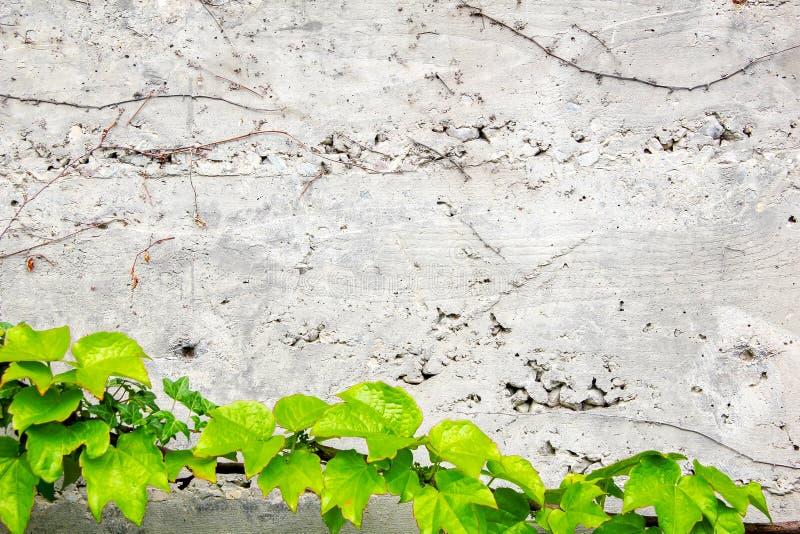 用常春藤盖的老混凝土墙 免版税库存照片