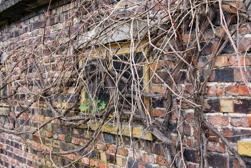 用干燥藤植物盖的窗口 库存图片