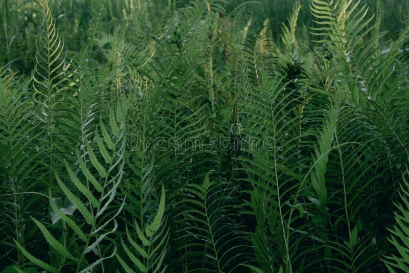 用年轻绿色蕨做的美好的背景在密林离开 自然和环境概念 库存图片