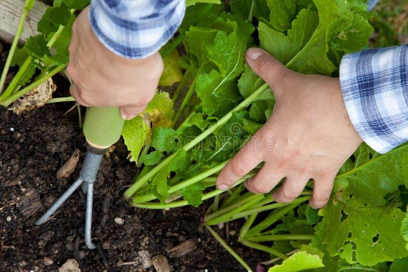 用手除草菜庄稼与犁耙 免版税库存照片