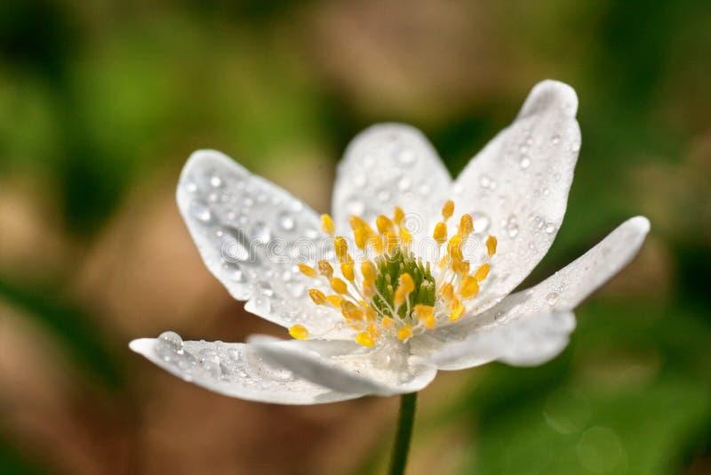 用早晨露水和白花银莲花属盖 库存照片