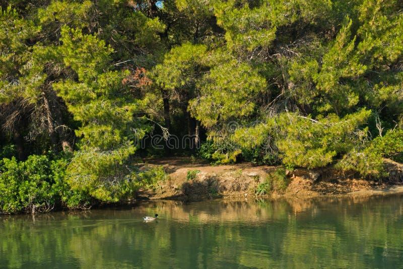 用杉树森林盖的一个小湖的海岸线,在Koukounaries海滩附近,早晨在斯基亚索斯岛海岛 库存照片