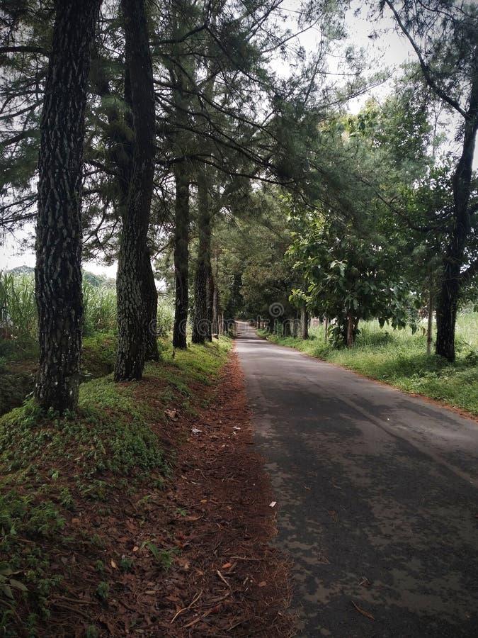 用松树装饰的军事综合道路 Magelang & x28;印度尼西亚和x29; 免版税图库摄影
