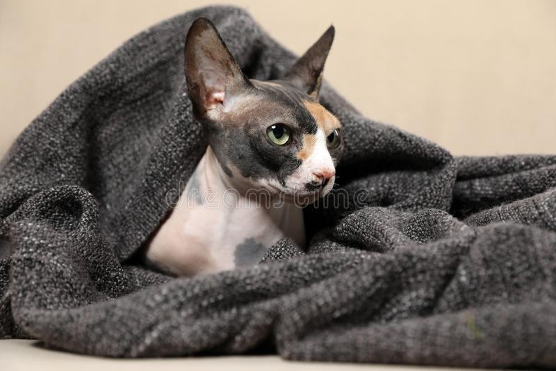 用格子花呢披肩盖的逗人喜爱的sphynx猫 友好的宠物 免版税库存图片