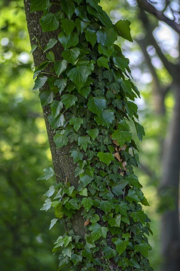 用毒葛盖的老树干,常春藤属螺旋绿色叶子,爬行野生植物 库存图片