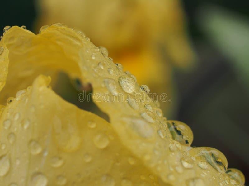 用水下落盖的虹膜花的黄色瓣 在雨或浇灌以后 免版税库存图片