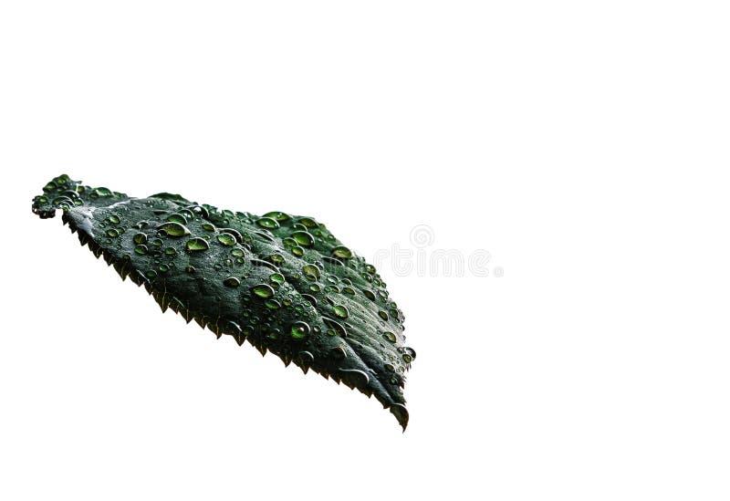 用水在白色背景的下落特写镜头盖的新鲜的绿色叶子,被隔绝 在植物的绿色叶子的后露滴 库存照片