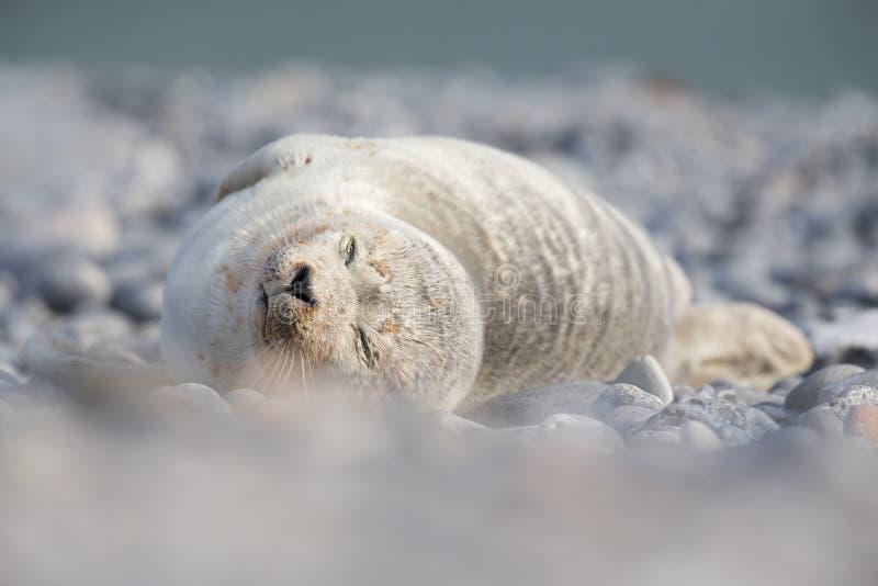 用沙子盖的一只灰色封印Halichoerus grypus小狗放置在海滩有眼睛的黑尔戈兰岛在冬天s结束了放置 免版税库存照片