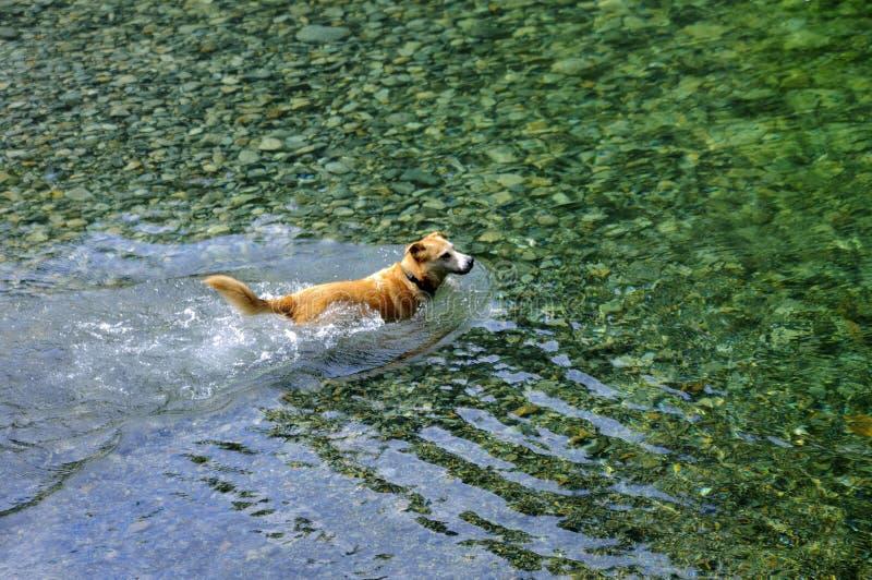 用浆划在小河水中的狗 图库摄影