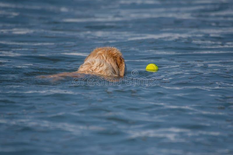 用浆划沿海洋表面的湿和毛茸的头 免版税库存照片