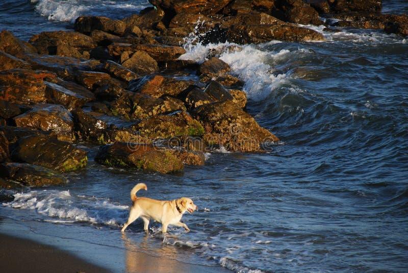 用浆划的金毛猎犬,米哈斯肋前缘 库存图片