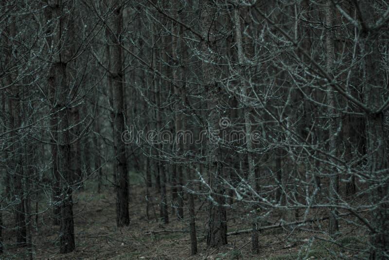 用灰色青苔和地衣盖的干燥树在有干燥分支和黄色青苔的黑暗的不祥的森林神仙的灰色森林里 图库摄影