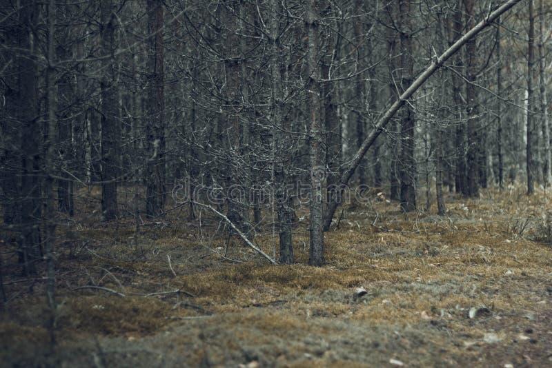 用灰色青苔和地衣盖的干燥树在有干燥分支和黄色青苔的黑暗的不祥的森林神仙的灰色森林里 免版税库存图片
