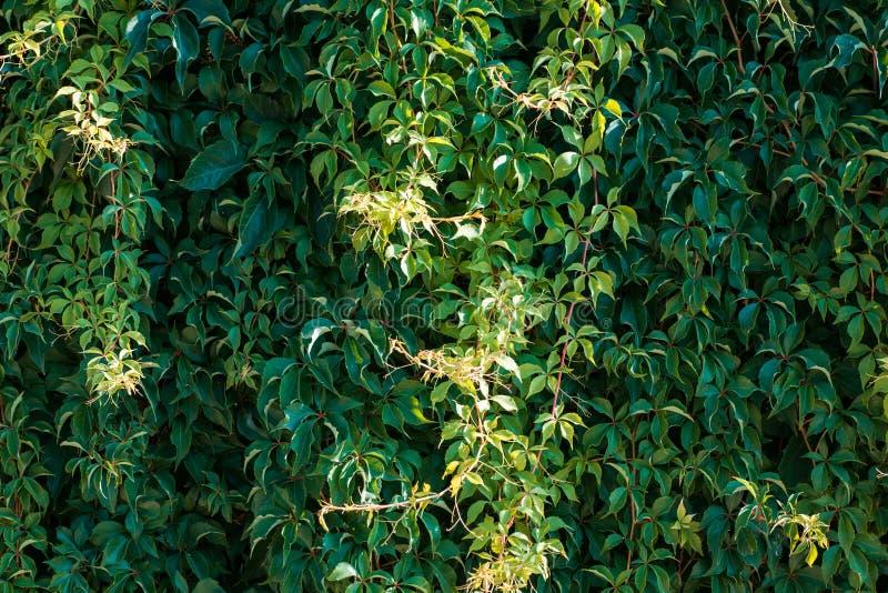 用狂放的葡萄绿色和黄色叶子盖的墙壁  自然本底 免版税库存图片