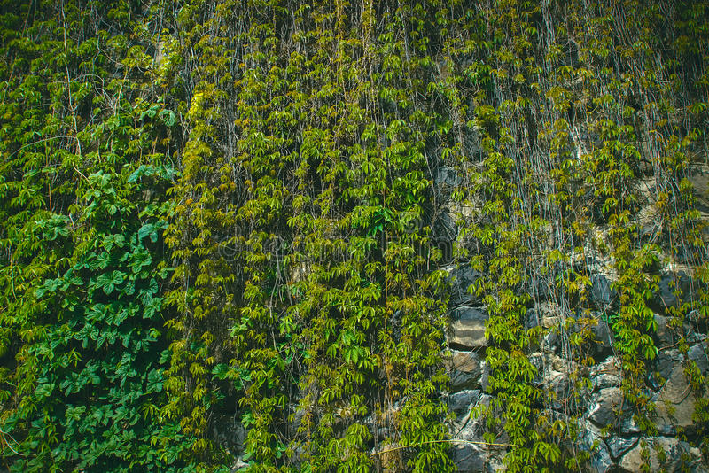 用狂放的葡萄绿色叶子盖的墙壁  自然本底 免版税库存照片