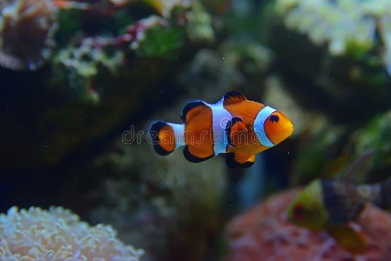 用珊瑚在背景中和在后边bottem右边的睡衣深红鱼的不同的类型的小丑鱼 库存照片