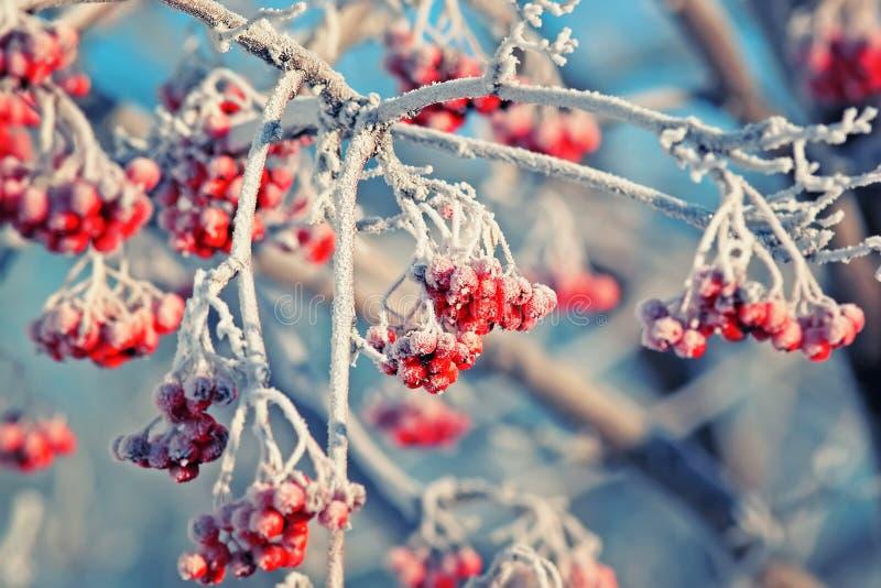 用白色树冰盖的红色结冰的花楸浆果在冬天停放 免版税库存图片