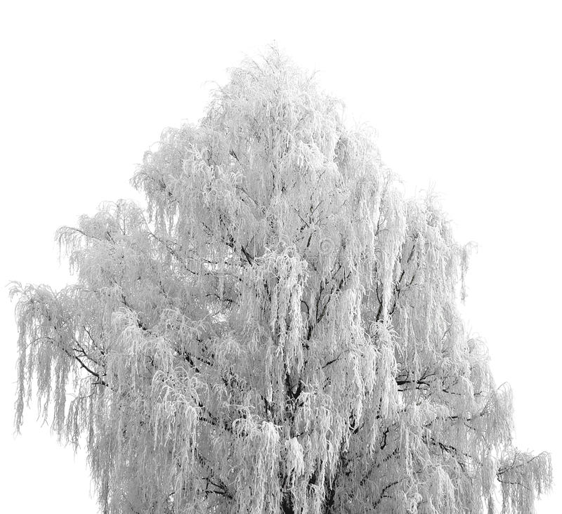 用白色雪盖的树 免版税库存图片