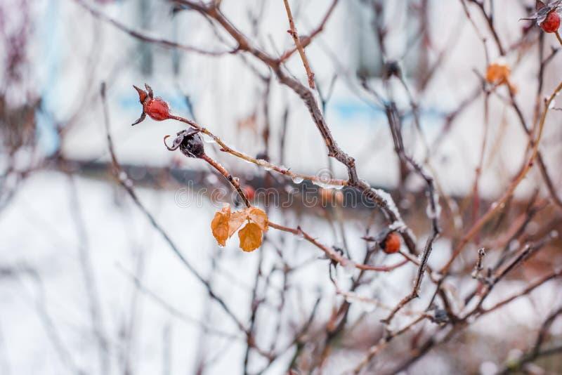 用白色鳞状冰盖的结冰的野生玫瑰 库存图片