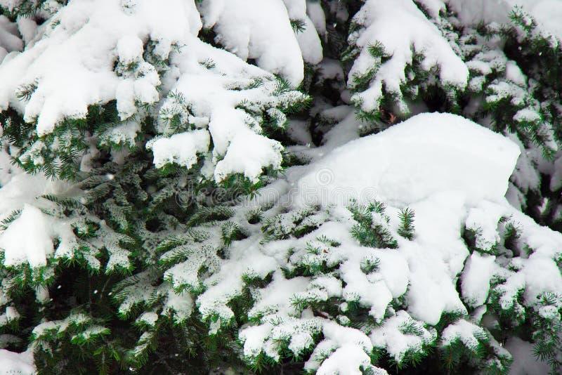 用白雪厚实的层数报道的云杉的分支  库存照片