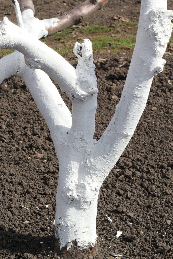 用石灰盖的苹果树树干 库存照片