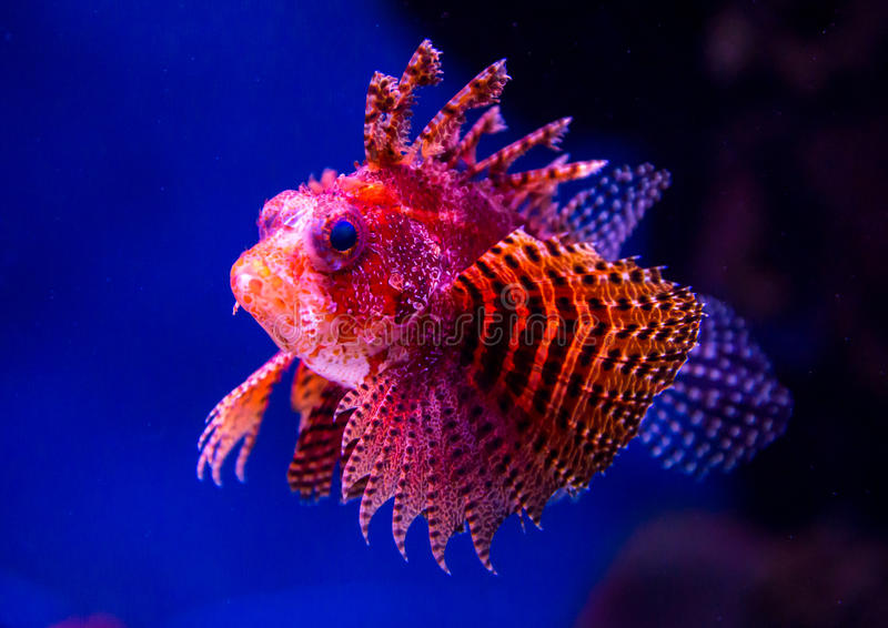 用红橙色鱼明亮地装饰的异乎寻常 免版税库存照片