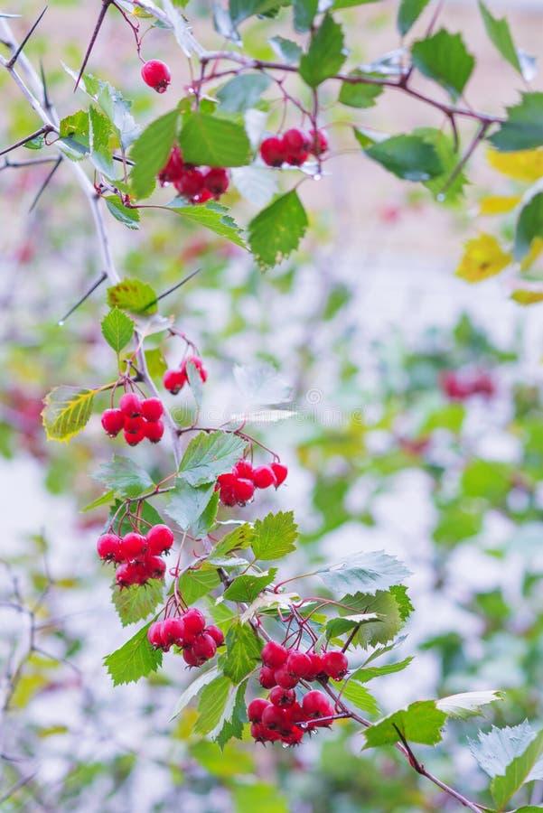 用红色莓果报道的山楂树分支 图库摄影