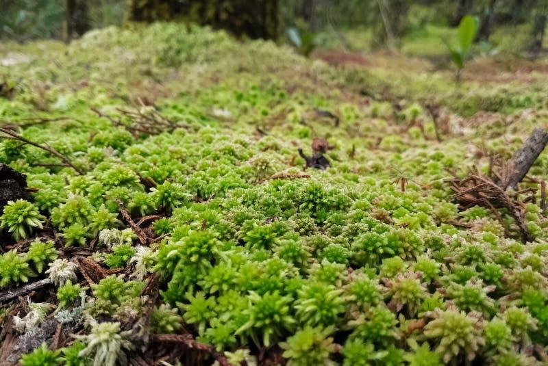用绿色和白色青苔层数盖的森林地板与叶子废弃物的 免版税库存照片