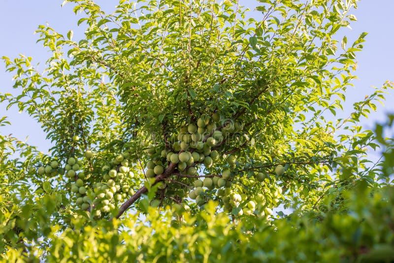 用绿色杏子moniquis装载的树,coques 库存图片