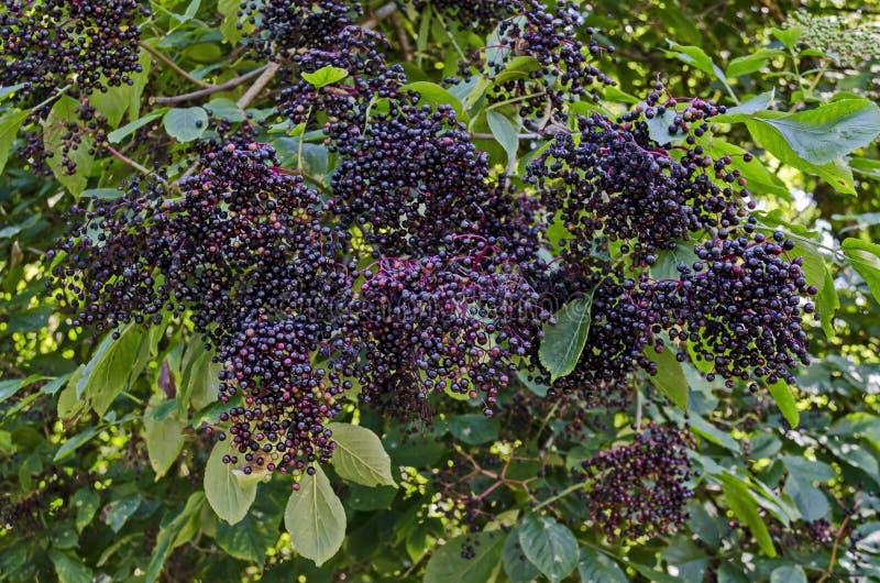 用群接骨木浆果果子和绿色叶子或接骨木花盖的布什长辈,山巴尔干 库存照片
