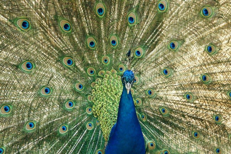 用羽毛装饰他的孔雀培养 免版税库存图片